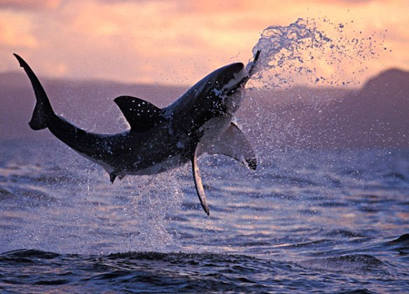 A Great White Shark Breaches To Catch Its Prey